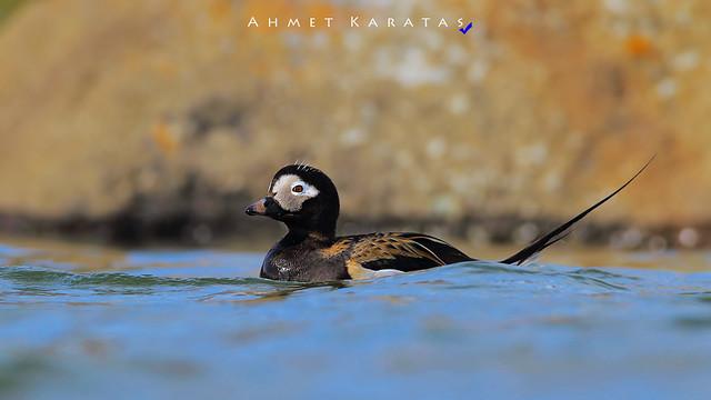 Clangula hyemalis=Telkuyruk [TR], Long-tailed Duck [EN]