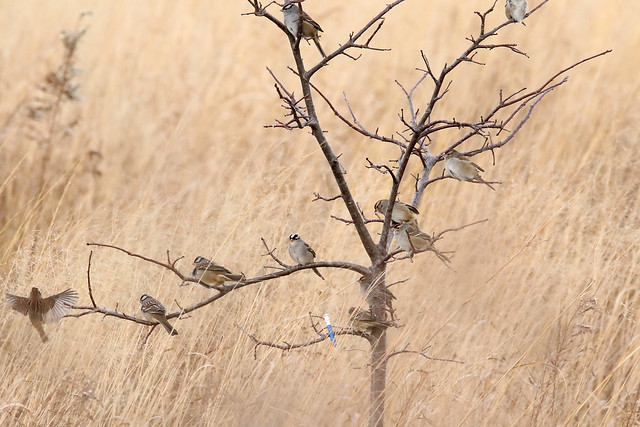 White-crowned Sparrow tree
