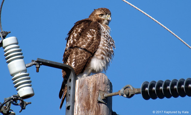 Juvenile Red-tailed Hawk Trying To Stay Warm