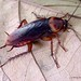 American Cockroach - Photo (c) Len Worthington, some rights reserved (CC BY-SA)