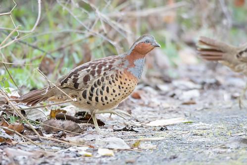 28 - 歩行路を横断しているところ。最初の一羽は見ている間に行ってしまったが、続けて数羽が横断してくれたので撮ることができた。