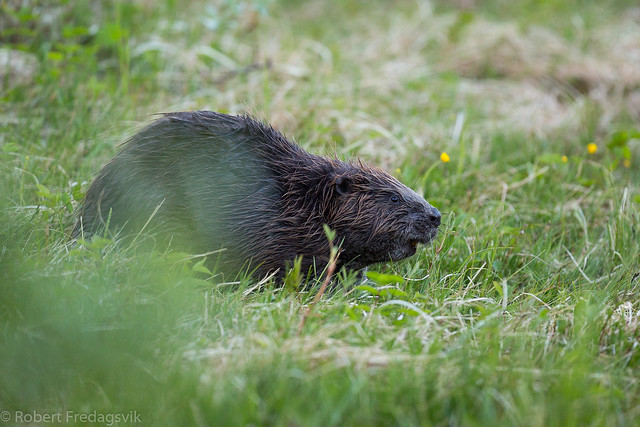 Bever - Eurasian beaver