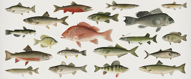 Set of fish illustrations by Denton in Fishes of North America digitally enhanced by rawpixel.com