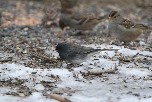 kevinlucas poppoffsparrowpatch poppoff slatecoloreddarkeyedjunco darkeyedjunco slatecolored sparrow