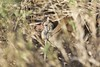 Small-billed Tinamou (Crypturellus parvirostris) by Daniel J. Field