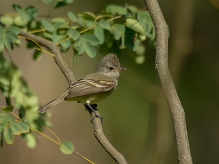 Risadinha / Camptostoma obsoletum / Southern Beardless-Tyrannulet | by sergiocosta64