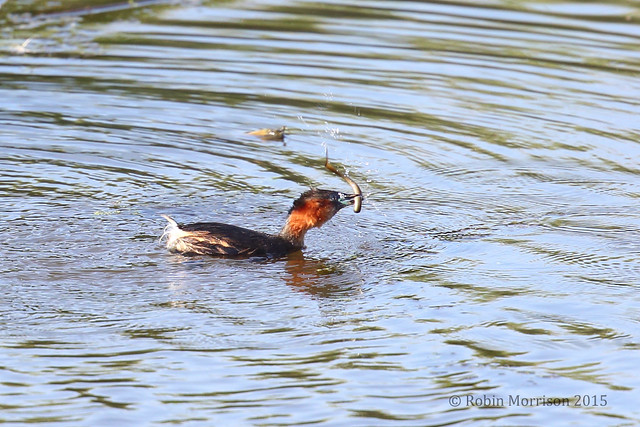 Little Grebe catching Elvers