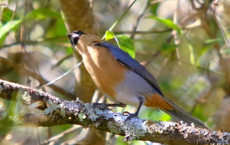 Bico-de-veludo | Cinnamon Tanager (Schistochlamys ruficapillus)