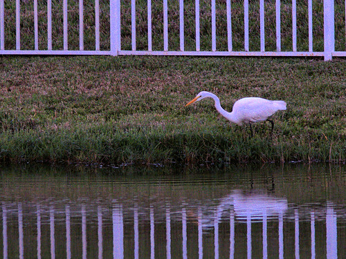 Great Egret at fence 20161226