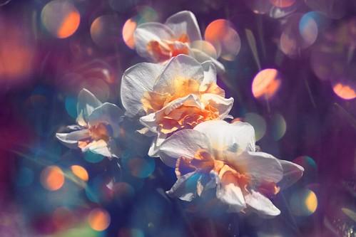 Sonnenberg Gardens & Mansion Historic Park ~ Canandaigua NY - White Tulips Fading for the Year   by Onasill ~ Bill Badzo