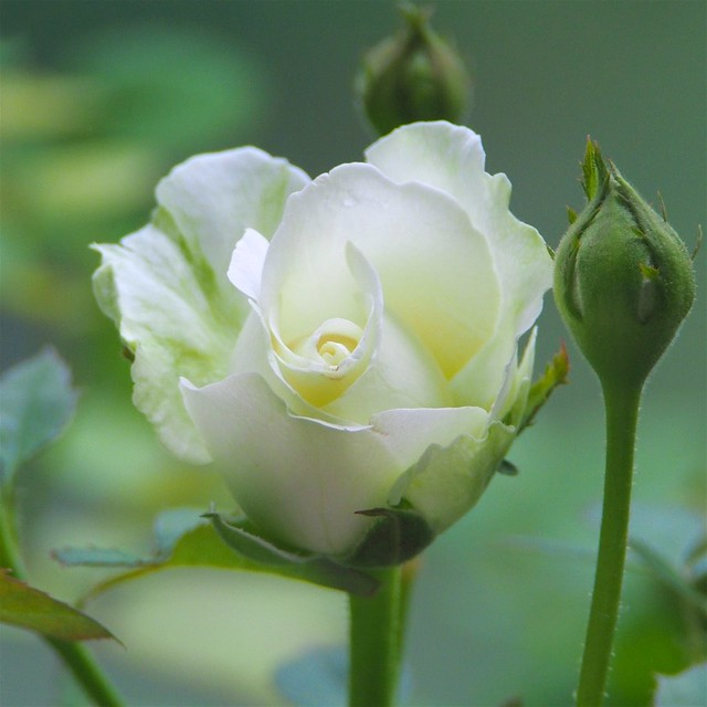 A Sweet White Rose