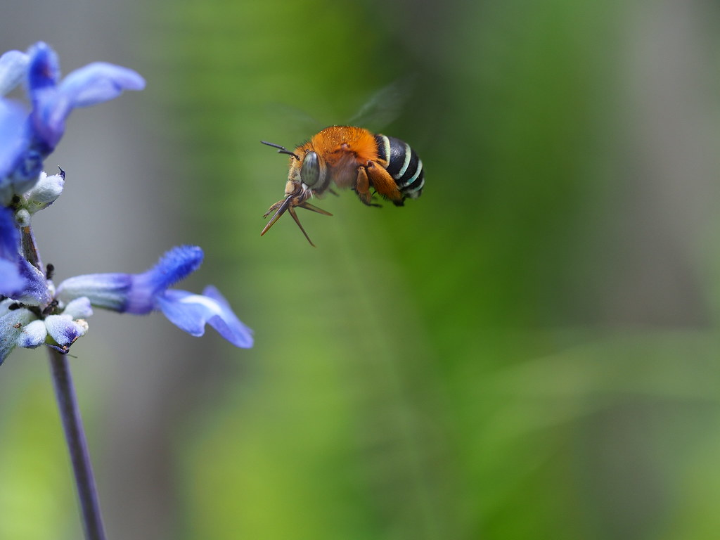 Female Blue-Banded Bee