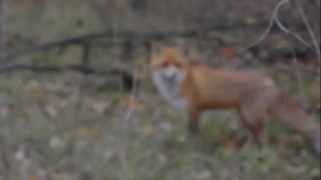 Meeting with a Fox in Pripyat