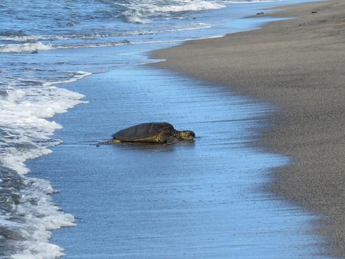 hawaii cheloniamydas green sea turtle honu kalokohonokōhaunationalhistoricalpark sand beach ocean nationalhistoricalpark
