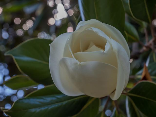 Magnolia flower, Whitfield Victoria.
