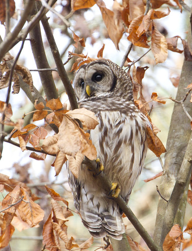 Barred owl, Strix varia, Northern barred owl, hoot owl | by John's Love of Nature