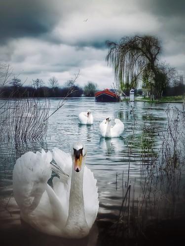 landscape water birds river swan