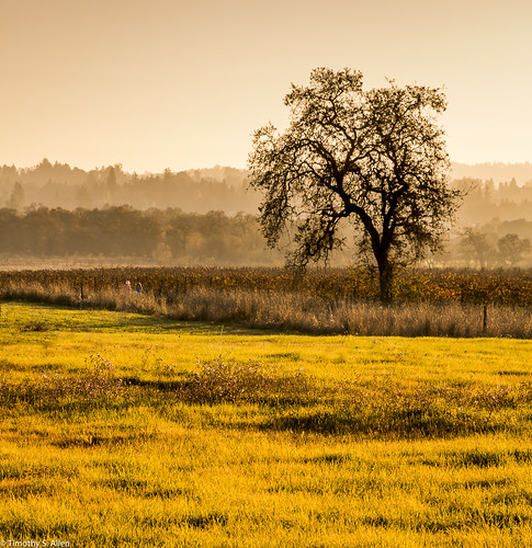 california lagunadesantarosa santarosa landscape silhoettes trees golden hour light sonomacounty oaktree vineyard vines photography