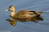 Pacific Black Duck by Stewart M
