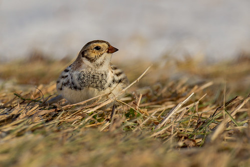 Lapland Longspur | Calcarius lapponicus | Plectrophane lapon | by Paul B Jones