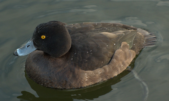 Tufted Duck (Fem)