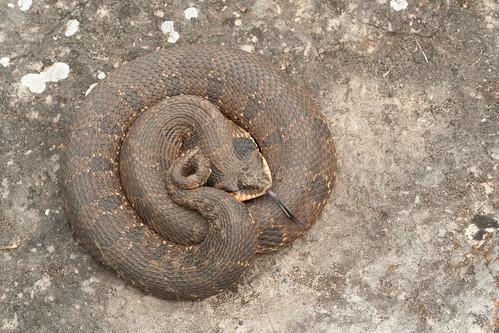 Heterodon platirhinos : Eastern Hog-Nosed Snake | by dmills727