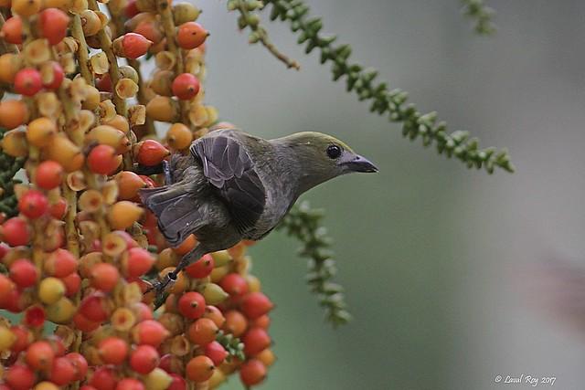1.28211 Tangara des palmiers / Thraupis palmarum atripennis / Palm tanager