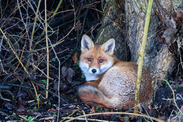Here's Foxy.
