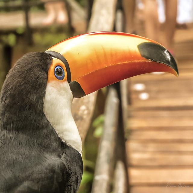 Toucan - eye