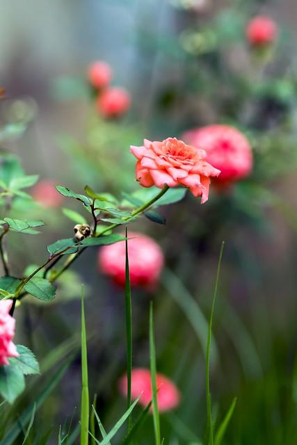 Rosa Chinensis #4