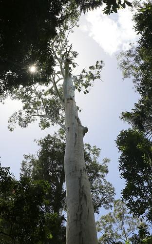 floodedgum rosegum eucalyptus eucalyptusinrainforest marginalarfp myrtaceae talltree wallingatnationalpark forsternsw forster arfp nswrfp qrfp sugarcreek warmtemperatearf rainforestmargin talltrees eucalyptusgrandis