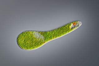 Euglena | by Micromundus