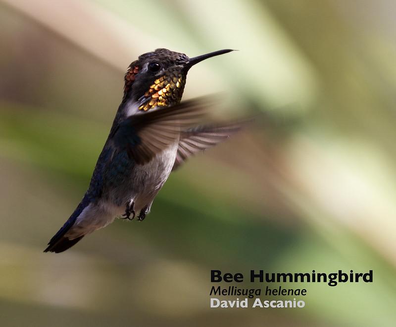 Bee Hummingbird_Mellisuga helenae_Ascanio_Cuba_199A4239