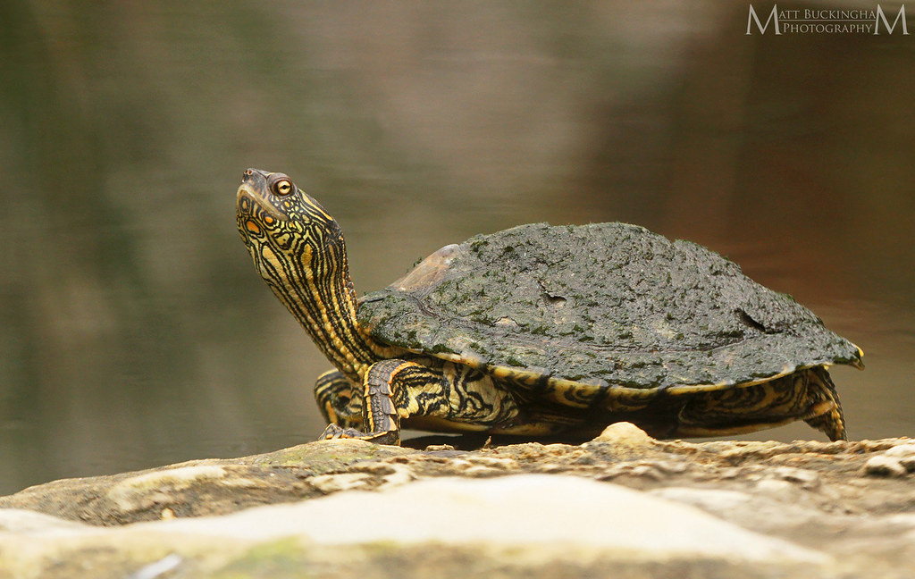 Texas Map Turtle Graptemys Versa Texas Hill Country Th Flickr