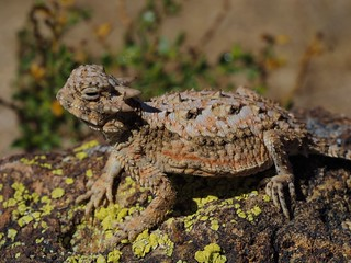 Southern Desert Horned Lizard (Phrynosoma platyrhinos calidiarum) | by NicholasHess