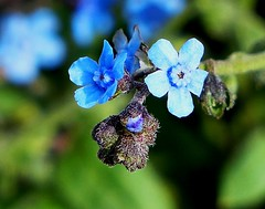 Chinese Forget-Me-Not - Western Himalayas ~3300m Altitude