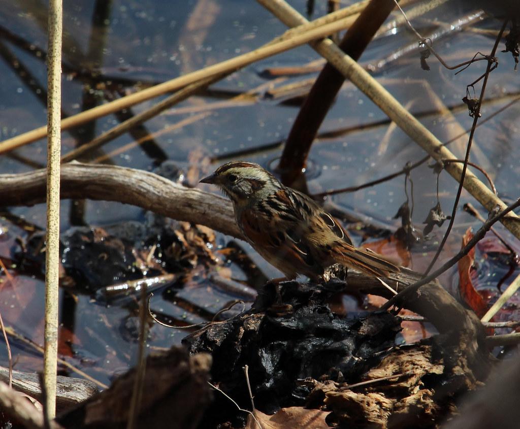 Swamp Sparrow Ft Worth NC 2-18