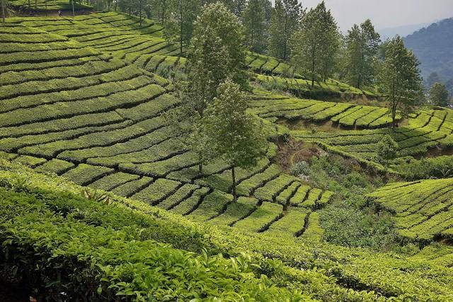 INDONESIEN, Java , Teeplantagen am Puncak-Pass, 17109/9595