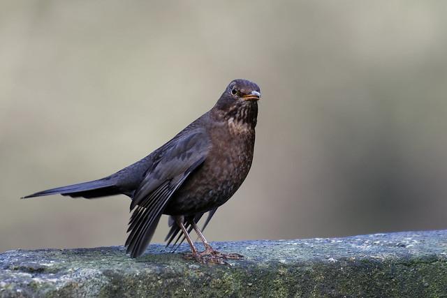 Blackbird Nottinghamshire 25-01-18 Ian W