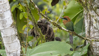 Broad-billed Motmot, Costa Rica, Januaru 2018 | by Gavia_Stellata