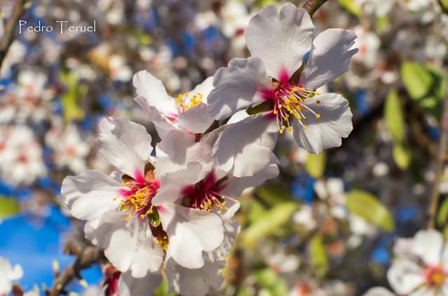 floración almendros II