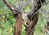 Black Sparrowhawk by Mandara Birder