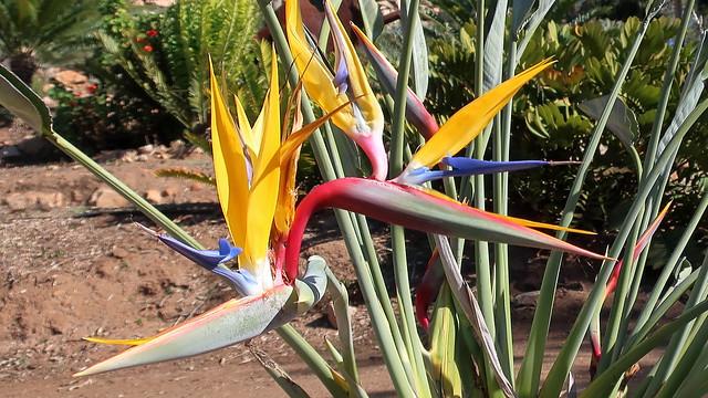 180129 034 Alta Vista Botanical Gardens - Prehistoric Garden, Strelitzia reginae 'Mandela's Gold' Yellow Bird of Paradise