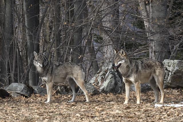 Lupi - Wolves