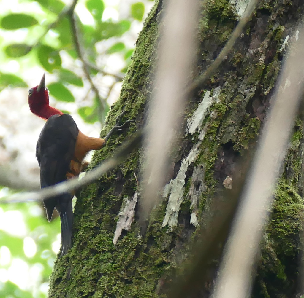 Red-necked Woodpecker (Campephilus rubricollis) male