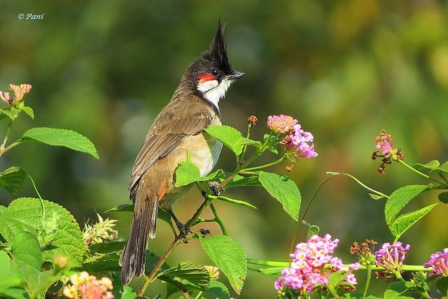 Red Whiskered Bulbul (with broken beak)