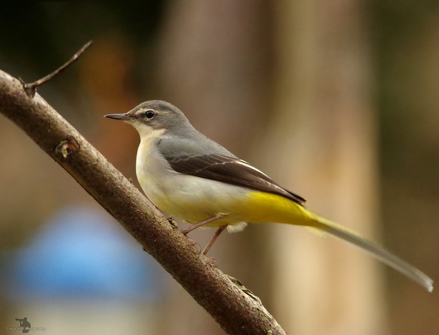 grey wagtail on branch (1)
