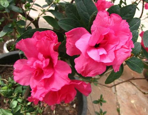 rhododendron 杜鵑花