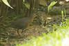 Band-Bellied Crake1 20180122_Botanic Gardens Singapore by wickwelsh