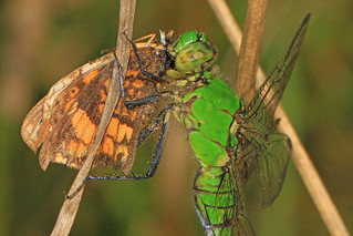 Eastern Pondhawk - Erythemis simplicicollis and Pearl Crescent - Phyciodes tharos, Merrimac Farm Wildlife Management Area, Aden, Virginia